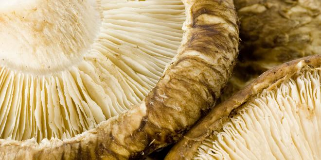 a close-up of shiitake mushroom fruiting bodies